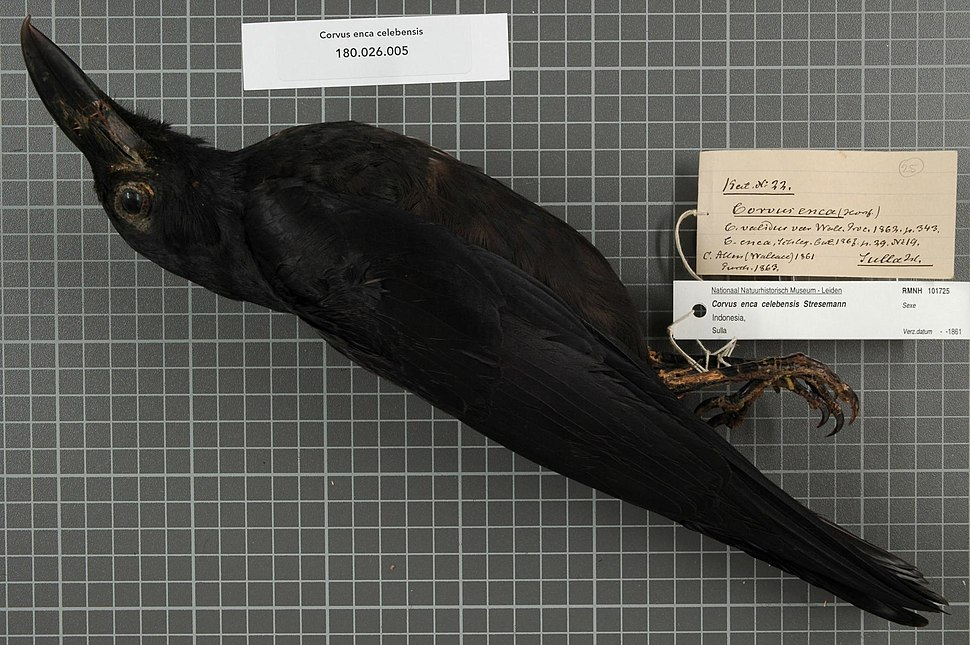 Naturalis Biodiversity Center - RMNH.AVES.101725 - Corvus enca celebensis Stresemann, 1936 - Corvidae - bird skin specimen.jpeg