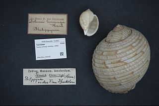 <i>Tonna cumingii</i> Species of gastropod