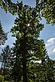 Naturdenkmal Alte Eiche, Kennung 82350800006, Wildberg, von Westen 03.jpg