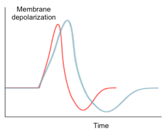 SCN8A - Nav1.6 action potentials, shown in blue, demonstrate greater depolarization, higher frequency and longer firing time before depolarization compared to action potentials observed in other sodium channel isoforms, shown in red.
