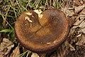 Neoboletus luridiformis - panoramio (5).jpg