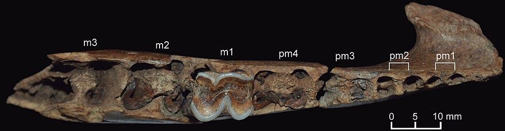 Neolicaphrium - Wikipedia