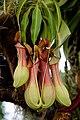 Nepenthes - Internationale Orchideen- und Tillandsienschau Blumengärten Hirschstetten 2016 b.jpg