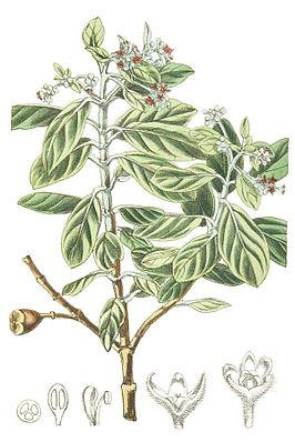 St.-Helena-Olivenbaum (Nesiota elliptica), Illustration.