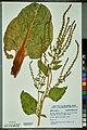 Neuchâtel Herbarium - Beta vulgaris - NEU000092626.jpg