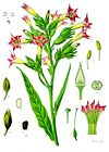 Nicotiana tabacum - Köhler–s Medizinal-Pflanzen-098.jpg
