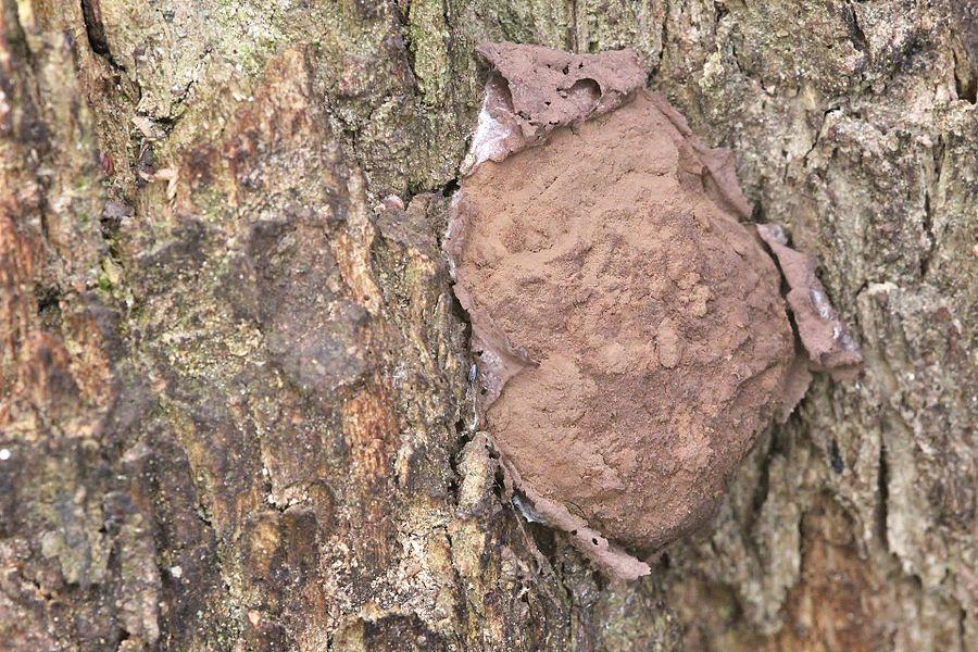 Forme poudreuse d'Enteridium lycoperdon après rupture de la membrane externe.