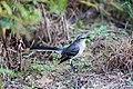 Northern mockingbird (31475961658).jpg