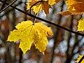Norway Maple (31264479495).jpg