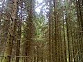 Norway Spruce forest, Latvia Фото0316.jpg