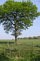 Oak tree west of Dilton Farm - geograph.org.uk - 430650.jpg