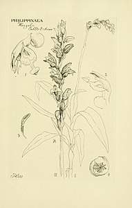 Oakes Ames - Orchidaceae. Illustrations and studies of the family Orchidaceae - Fascicle VI - plate 100 (1920).jpg