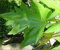 Obetia ficilifolia01.JPG
