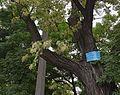 Odesa White Acacia Starostina Square 51-101-5034 DSC 4483.jpg