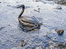 220px-Oiled_Bird_-_Black_Sea_Oil_Spill_111207.jpg (220×165)