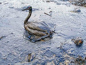Oil spill - A bird covered in oil from the Black Sea oil spill