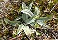 Ophrys araneola 090308.jpg