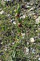 Ophrys mammosa kz5.jpg