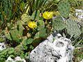 Opuntia ficus-indica (Jardin des plantes).jpg