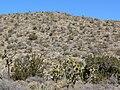 Opuntia phaeacantha 15.jpg