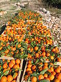 Orange Crop Kufr Jammal2.JPG