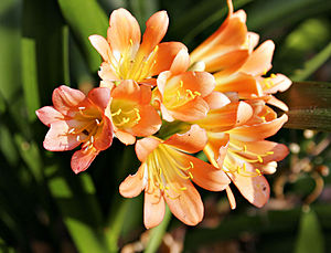 Orange freesias