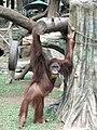 Orangutan Taman Safari Cisarua.JPG
