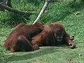 Orangutans01.jpeg