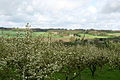 Orchards in the Medway valley - geograph.org.uk - 162811.jpg