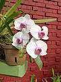 Orchidées-Jardin botanique de Peradeniya-Sri Lanka (8).jpg