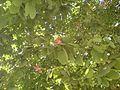 Orchid tree (323658796).jpg