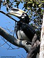 Oriental Pied Hornbill Anthracoceros albirostris (Shaw & Nodder, 1807) (16167271138).jpg