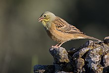 Ortolan bunting in Sierra de Guara, Aragon, Spain.jpg