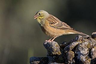 Ortolan bunting Species of bird