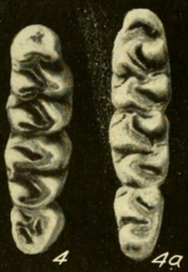 Three molars on both the left and right, decreasing in size from above to below