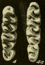 Three teeth both at the left and right, decreasing in size from top to bottom.