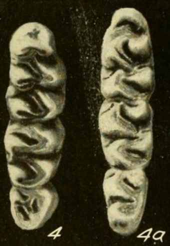 Upper molars (left) and lower molars (right) of a specimen from Cana, Panama Oryzomys talamancae molars.png