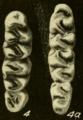 Oryzomys talamancae molars.png