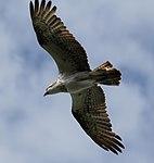 Osprey Overhead (31133111211).jpg