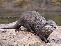 Otter at London Zoo.jpg