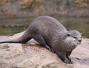 Otter at London Zoo.jpg
