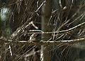 Ovenbird (15271462652).jpg
