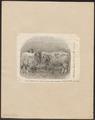 Ovis aries - 1864 - Print - Iconographia Zoologica - Special Collections University of Amsterdam - UBA01 IZ21300121.tif
