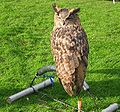 Owl on leash.jpg