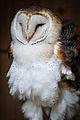 Owls @ Dragonheart, Enschede (9546681087).jpg