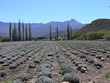 P1020107 Lavendelfarm Ladismith.JPG