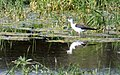 P1090472-24x15-Himantopus himantopus (29052280318).jpg