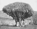 PSM V53 D790 Dragon tree at laguna tenerife.png