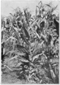 PSM V79 D351 Unusual maize plant producing hermaphrodite flowers.png