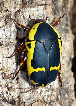 Pachnoda sinuata flaviventris - Wikipedia Yellow And Black Pattern